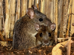 Dusky rats photo by David Wright