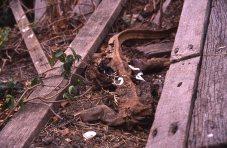 Dead goanna #60