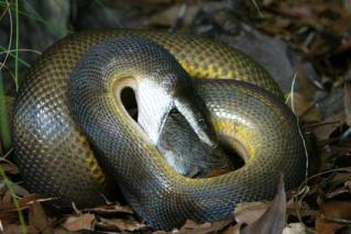 python feeding 1