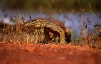 Before the arrival of cane toads yellow-spotted goannas were common on the Adelaide River floodplain